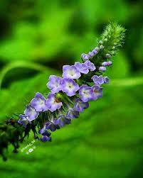 Cola <b>de</b> Alacrán/Heliotropium indicum . . . :@<b>yess_15ortiz</b> ...