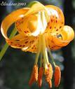 oregon lily
