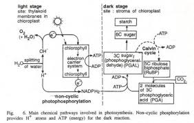 photosynthesis essay on photosynthesis  words the energy balance of photosynthesis is