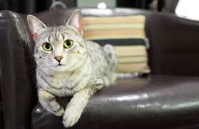 cat sitting on leather sofa cat safe furniture