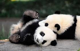 Image result for pandas