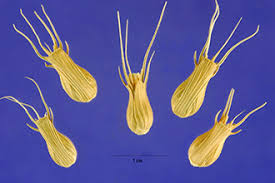 Plants Profile for Aegilops ventricosa (goatgrass)