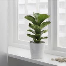 10 Things Nobody Tells You About Fiddle-<b>Leaf</b> Fig <b>Trees</b> - Gardenista