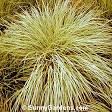 Images & Illustrations of broom beard grass