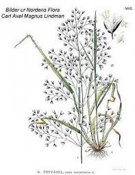 Online Virtual Flora of Wisconsin - Deschampsia cespitosa