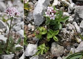 Valeriana supina Ard. - Sistema informativo sulla flora delle Alpi ...