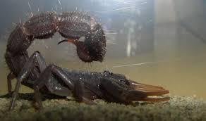 10 самых опасных в мире <b>скорпионов</b> | Журнал Популярная ...