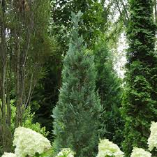 Pinpoint® Blue - False Cypress - Chamaecyparis lawsoniana ...