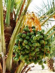 produce clerk the produce clerks handbook by rick chong fresh dates on tree
