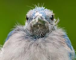Baby Blue Jay - paulduann.com