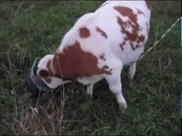 Делаем укол бычкам - YouTube