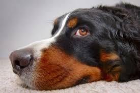 Είναι  η υγρή μύτη ένδειξη υγείας στο σκύλο;