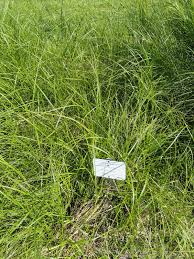 Carex disticha - Wikipedia, la enciclopedia libre