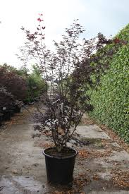Acer palmatum 'Trompenburg' cont. <b>50L</b> 175-<b>200 cm</b> | My Website
