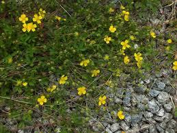 Potentilla anglica, Trailing Tormentil: identification, distribution, habitat