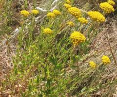 Achillea ageratum Mace, Sweet-nancy PFAF Plant Database