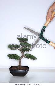 bonsai tree with hedge clippers stock image bonsai tree office window