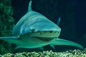 sicklefin lemon shark wikiwand