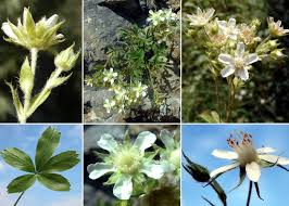 Potentilla caulescens L. subsp. caulescens - Sistema informativo ...
