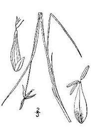 Plants Profile for Carex pauciflora (fewflower sedge)