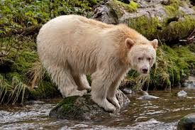 best images about kermode bears british columbia 17 best images about kermode bears british columbia rainforests and the spirit