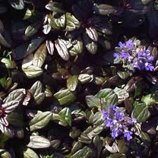Ajuga tenorii Chocolate Chip from Santa Rosa Gardens - Bugleweed