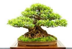 ficus n by aaron buchler bonsai tree for office