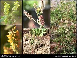 Melilotus indicus (L.) All.: FloraBase: Flora of Western Australia
