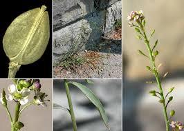 Lepidium graminifolium L. subsp. graminifolium - Portale sulla flora ...