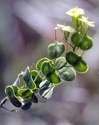 Biscutella auriculata – Wikipédia, a enciclopédia livre