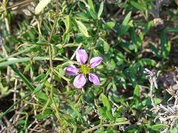 Fagonia cretica - Wikipedia