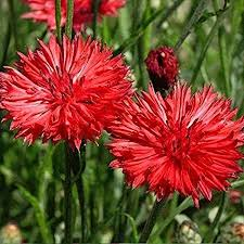 Bachelor Button Tall Red Cornflower Flower Seeds ... - Amazon.com