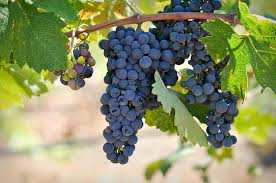Image result for grapes on a vine