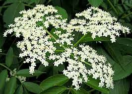 Image result for elder plant
