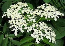 Image result for elder plant