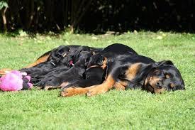 مراحل الحمل الطبيعية فى الكلاب :