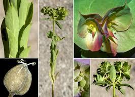 Euphorbia falcata L. subsp. falcata - Portale sulla flora delle Saline ...