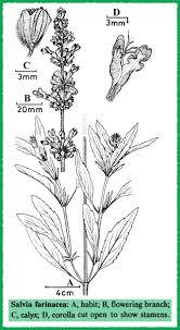 Salvia in Flora of Pakistan @ efloras.org
