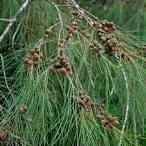 casuarina equisetfolia