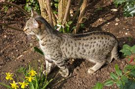 essay on the domestic cat for kids  poc gabriel in the garden   alert