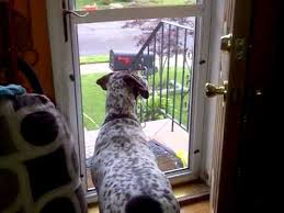 German Short-haired pointer funny moments - YouTube