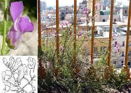 Antirrhinum majus L. subsp. tortuosum (Bosc. ex Lam.) Rouy ...