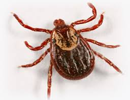 Image result for wood ticks
