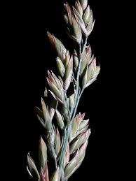 Festuca paniculata · iNaturalist.org