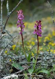Orchis spitzelii - Wikipedia
