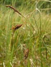 Carex limosa - Wikipedia