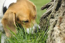 Why Dogs <b>Eat Poop</b> and How to Stop It – American Kennel Club