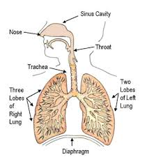diagram of the respiratory system  asa  can help target the    human respiratory system  diagram