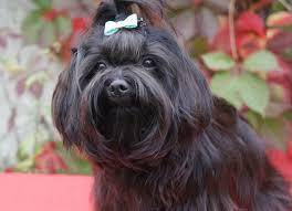 Русская цветная <b>болонка</b>: фото и описание породы собак