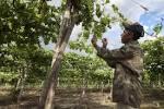 Fruta apodrece no pé com a queda da demanda no Nordeste